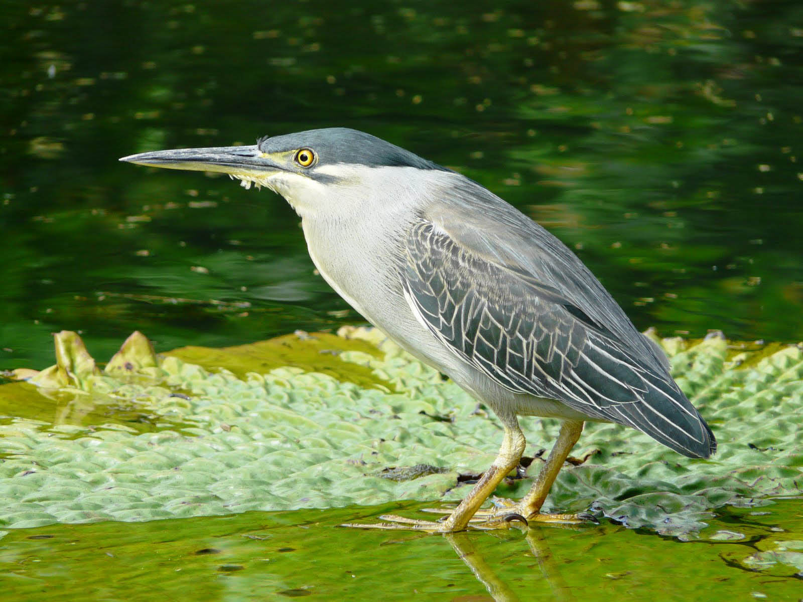 Striated male heron birds pictures