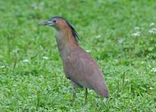 malayan night heron pictures