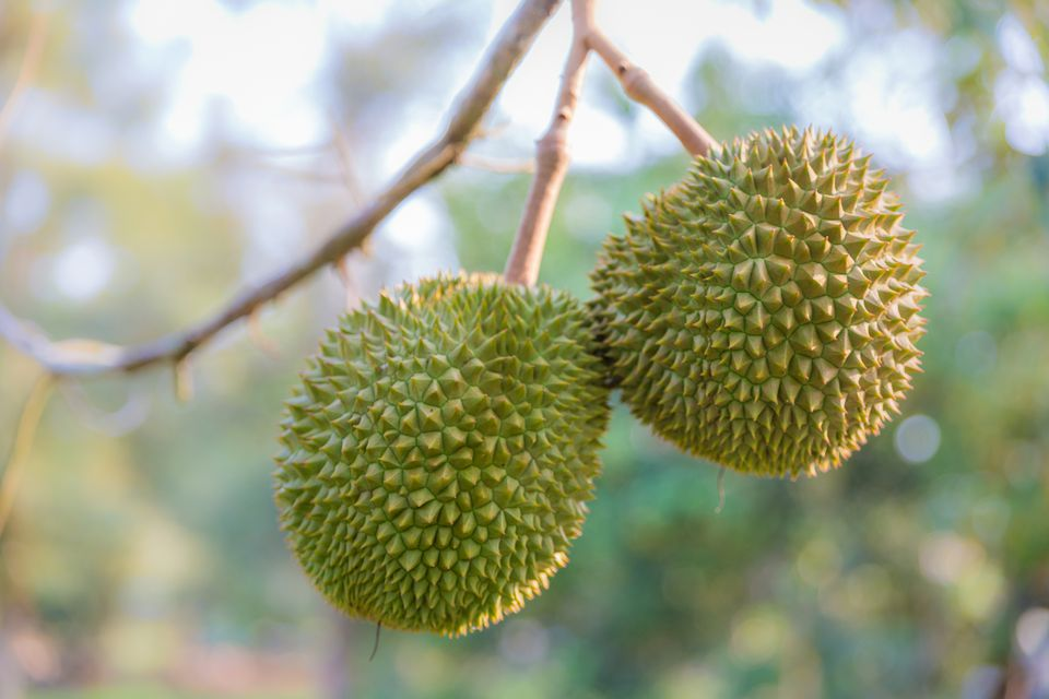 Durian fruit slide show