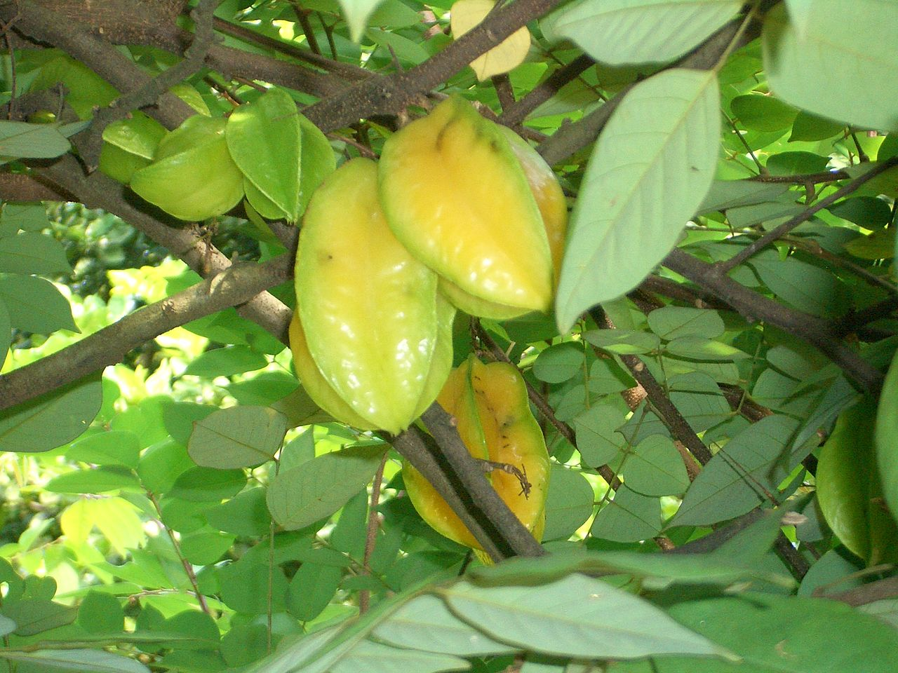 Carambola fruit with tree