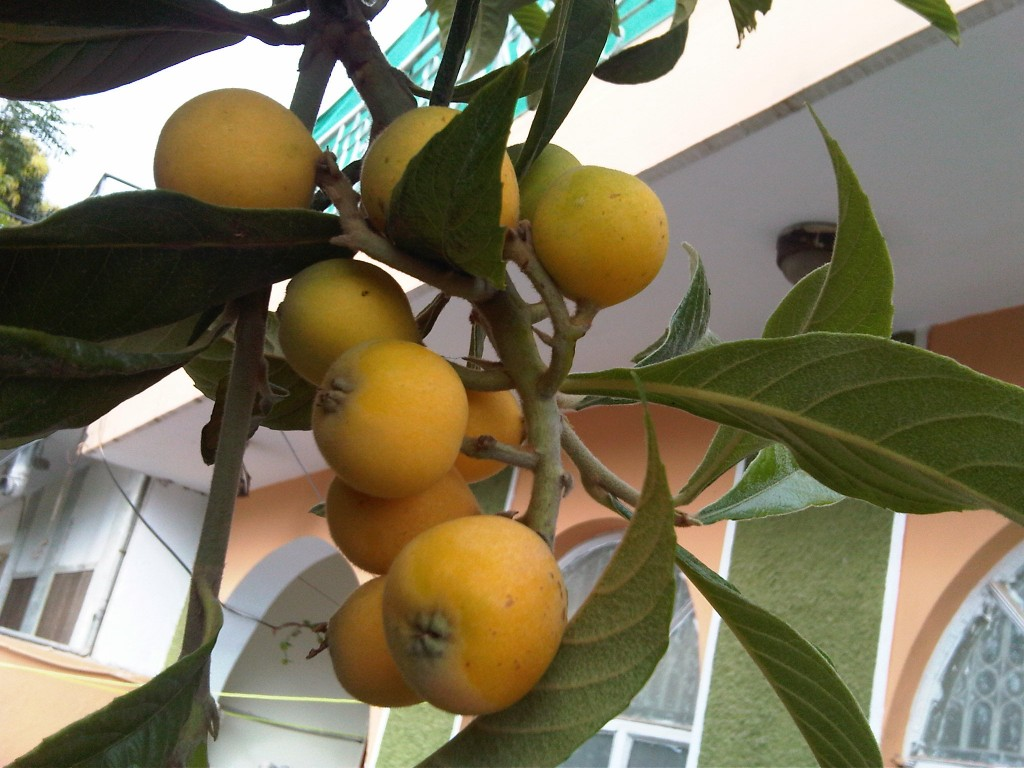 Loquat fruit hd photos