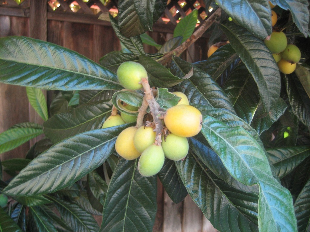 Loquat fruit photos