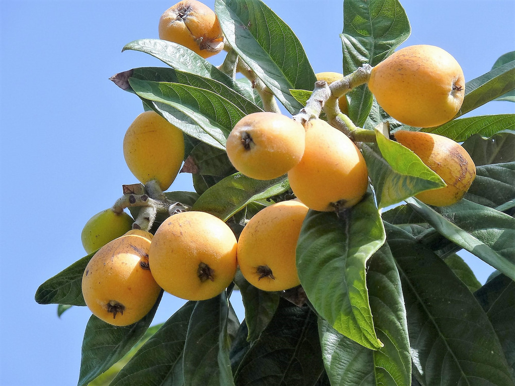 Loquat fruit with leaf