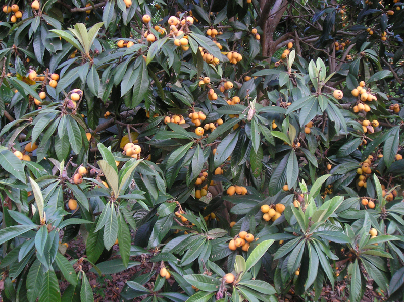 Many loquat fruits