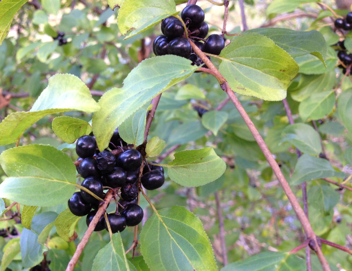 Black currant fruit image