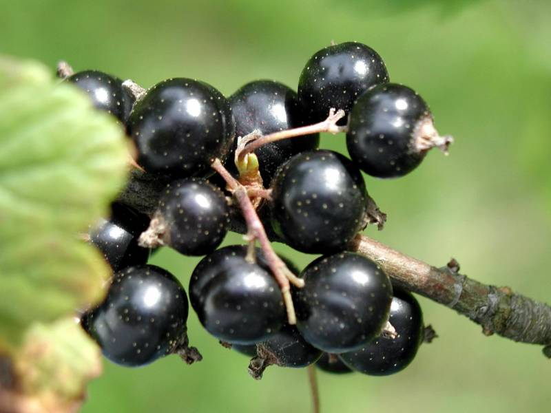Black currant fruit photos