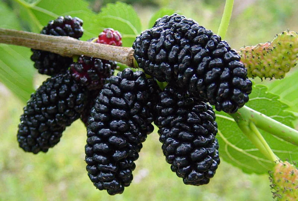 Black currant fruit pictures
