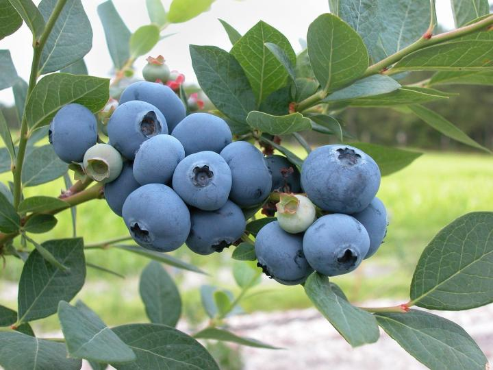 Blueberry fruit hd wallpaper with leaf