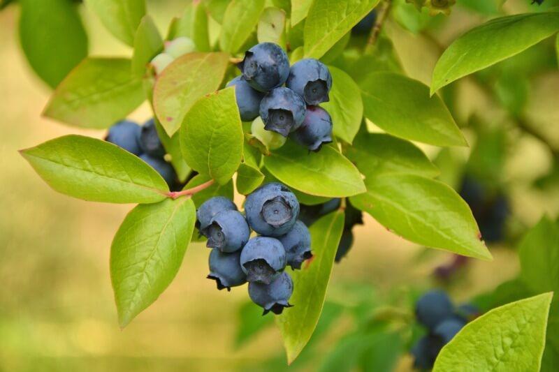 Blueberry fruit wallpaper