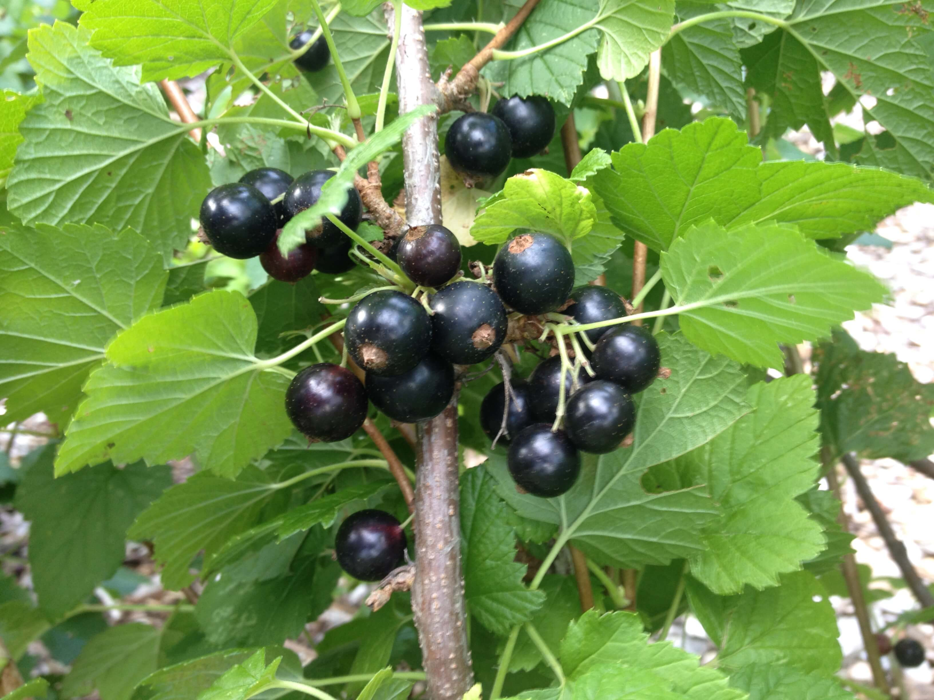 Fruit currant black photos