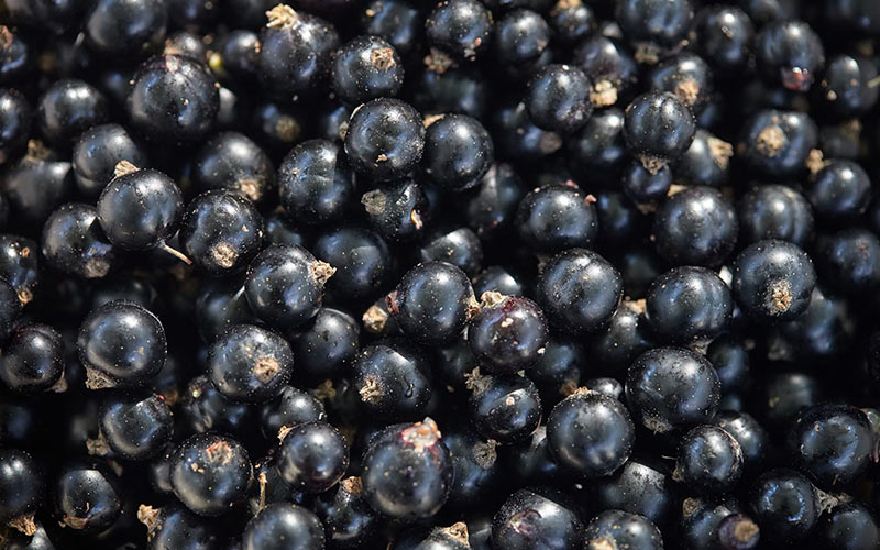 Many black currant fruit photos