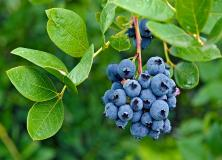 blueberry fruit pictures