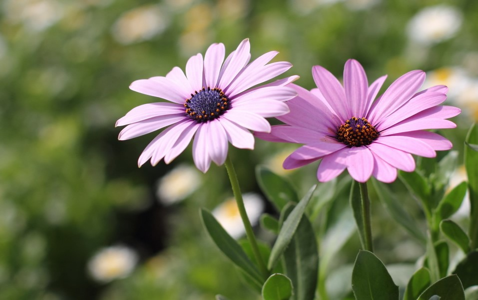 African daisy cute pictures