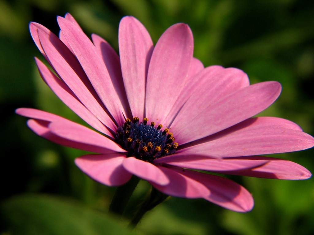 African daisy flower wallpapers