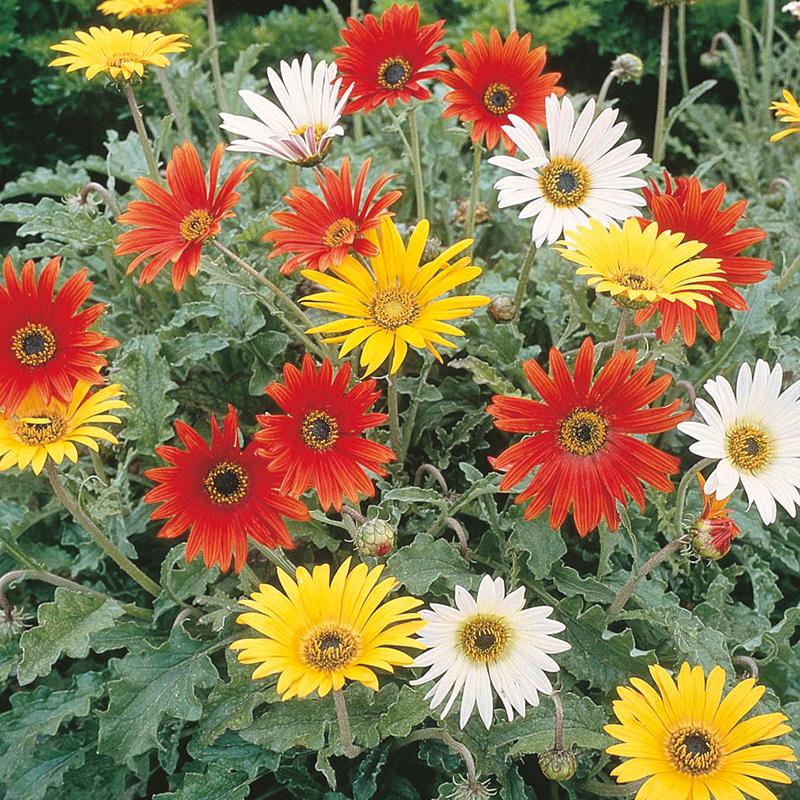 African daisy garden photos