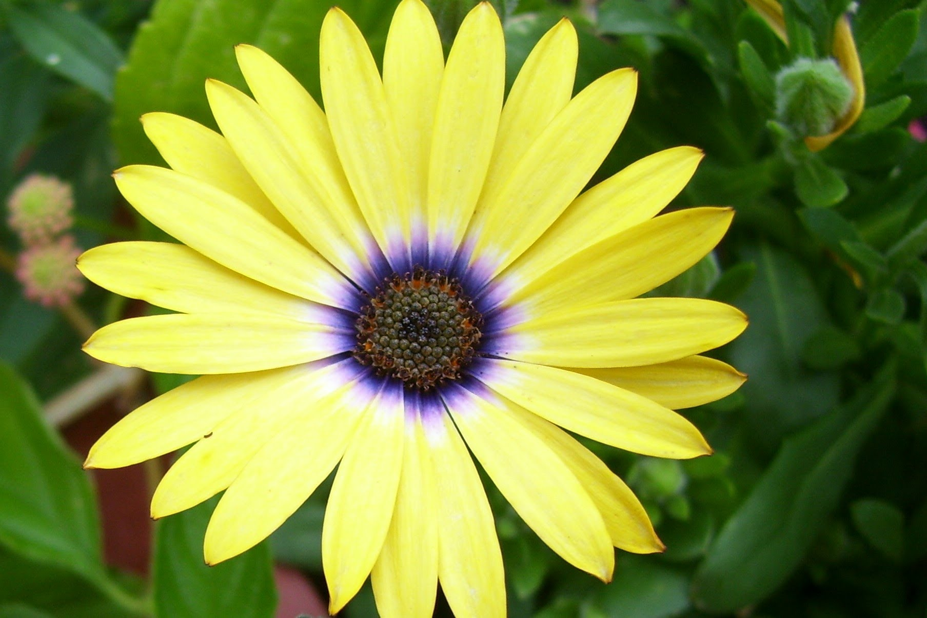 African daisy yellow flower photos
