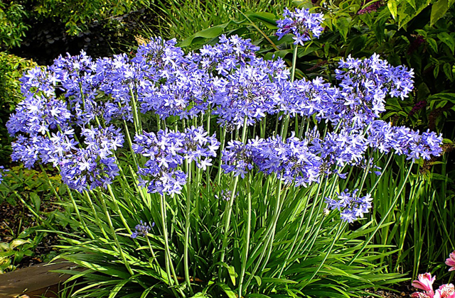 Agapanthus flower garden photos