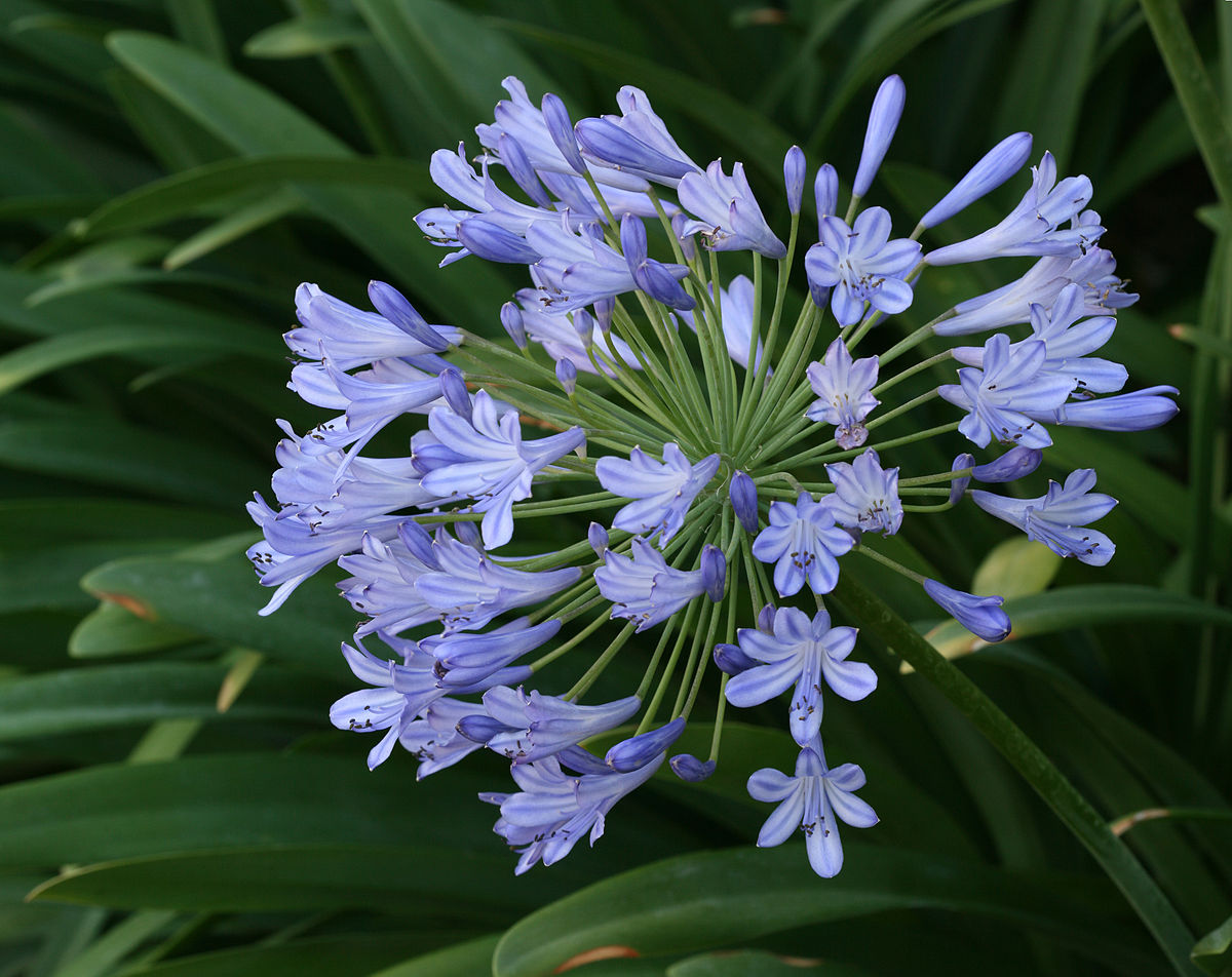 Agapanthus flower photos