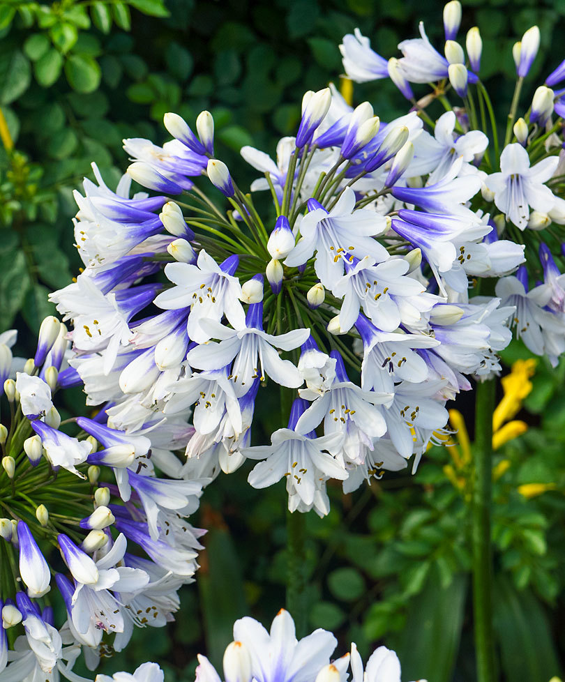 Agapanthus flower white photos