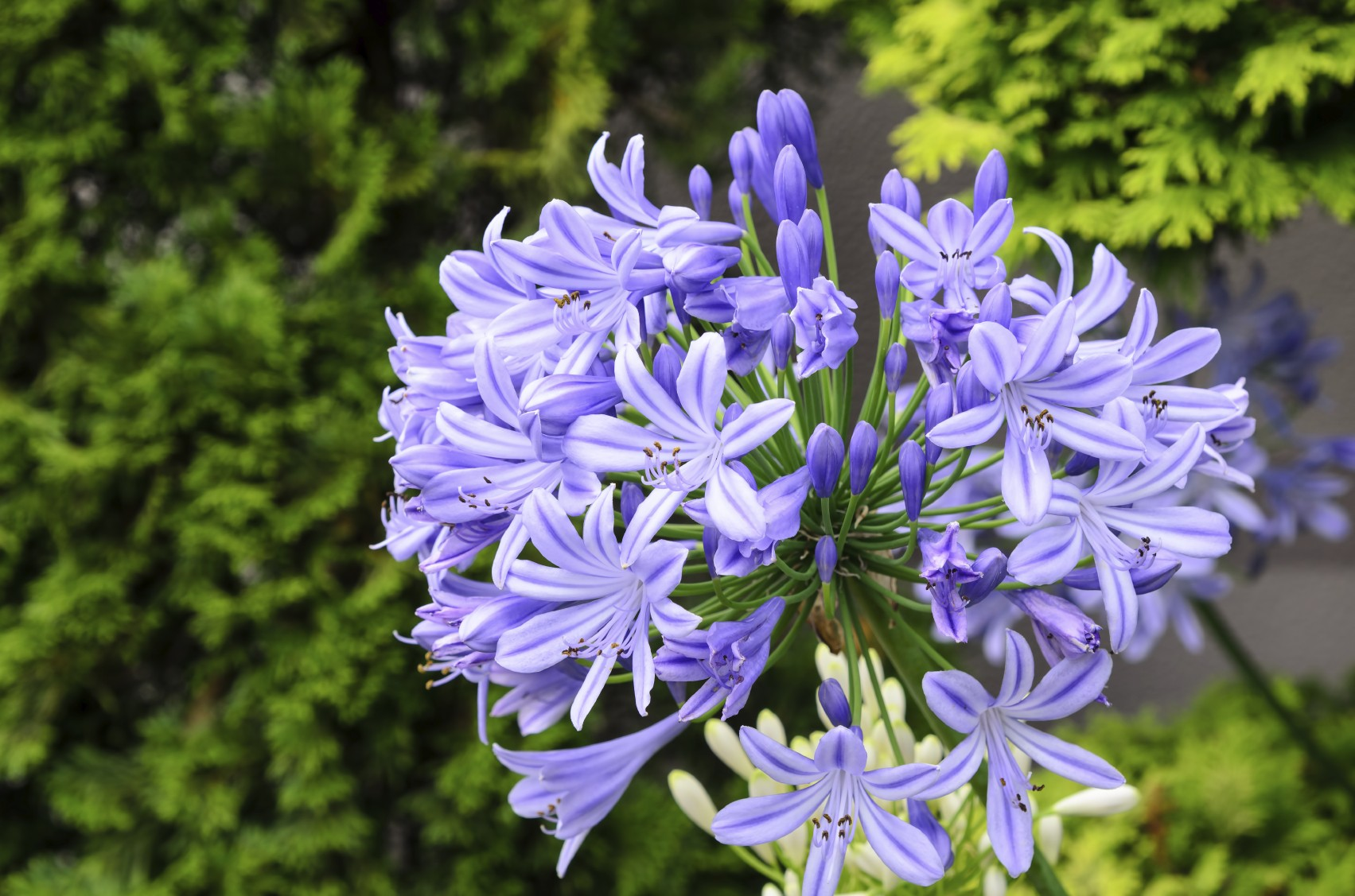 Agapanthus wallpapers
