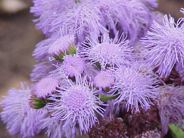 Ageratum houstonianum pics