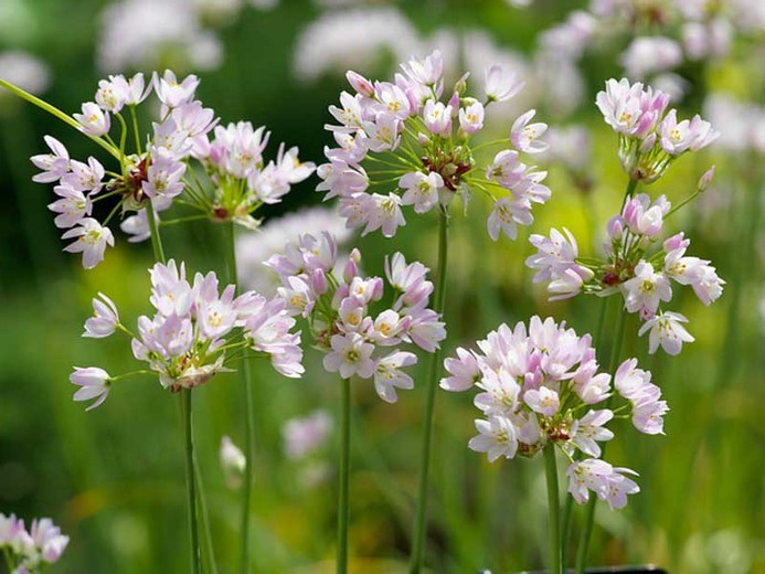 Allium roseum flower pictures