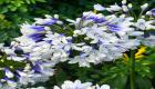 Agapanthus flower slideshow