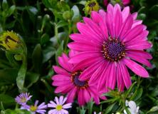 african daisy flower pictures