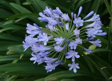 agapanthus flower pictures