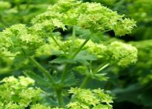 alchemilla flower pictures