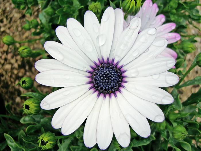 White african daisy flower images