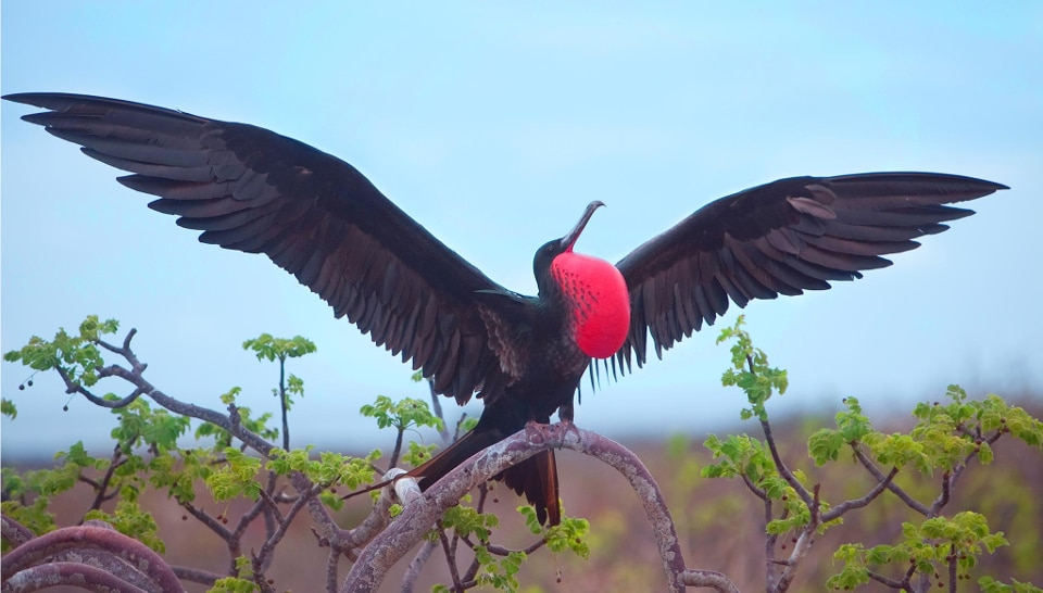 Frigate bird photos