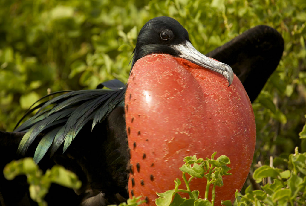 Frigate bird pictures