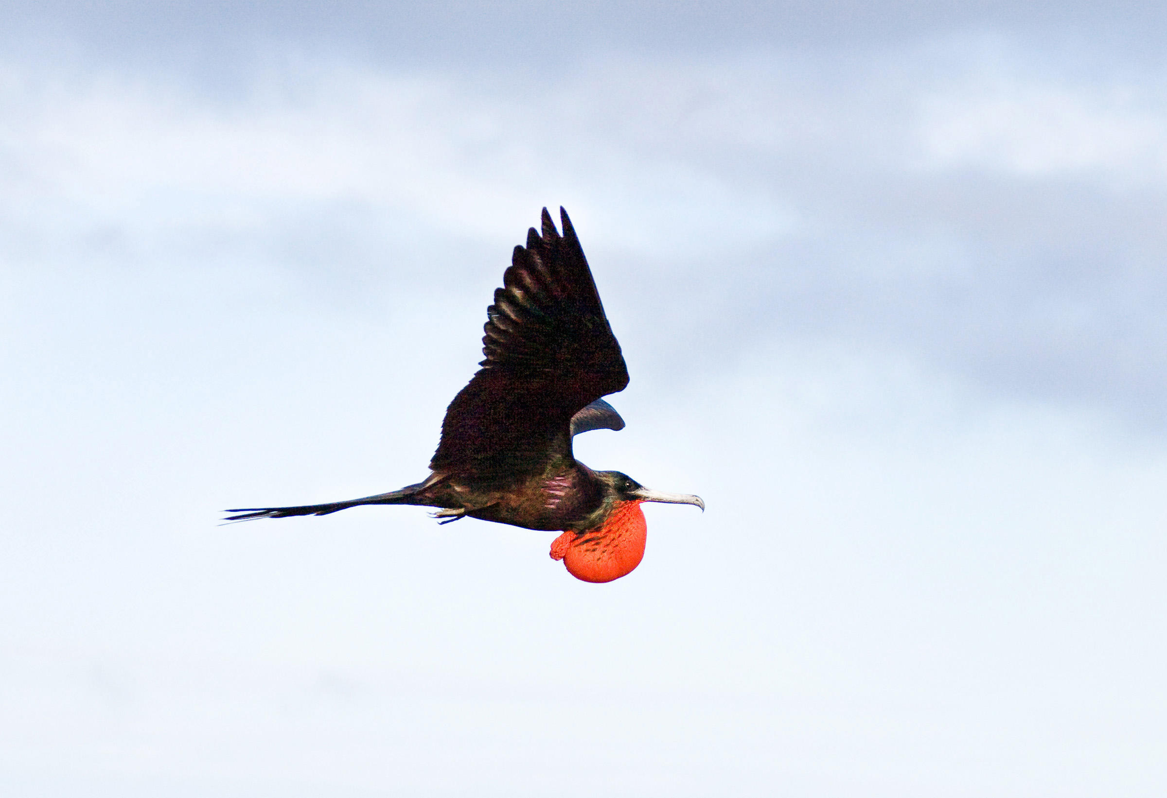 Magnificent frigatebird photos