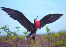 magnificent frigate bird pictures