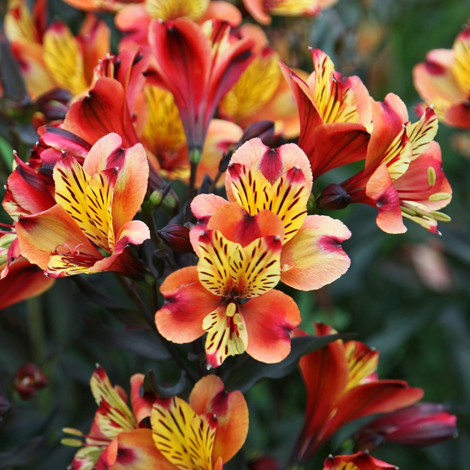 Alstroemeria colorful flowers photos