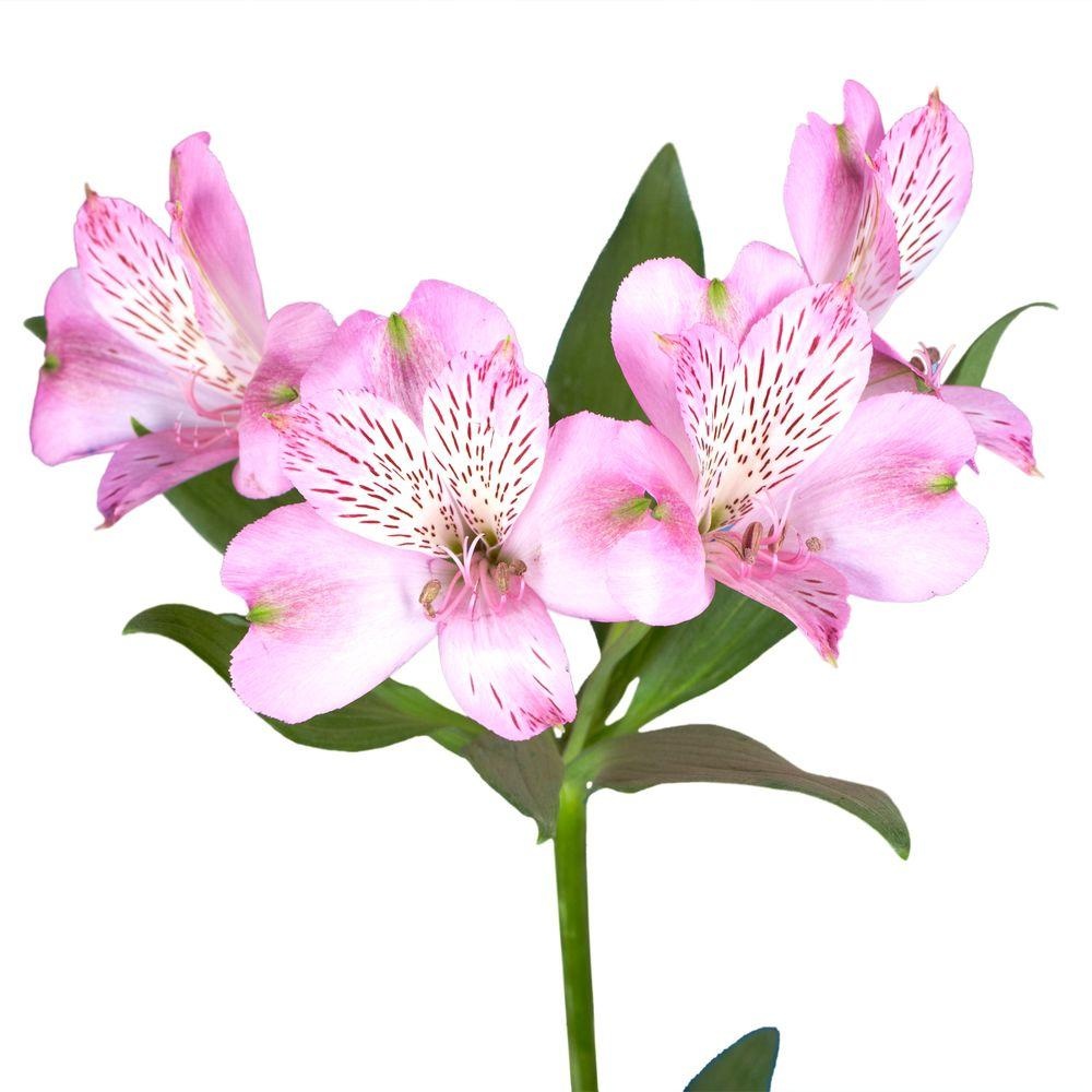 Alstroemeria flower wallpapers