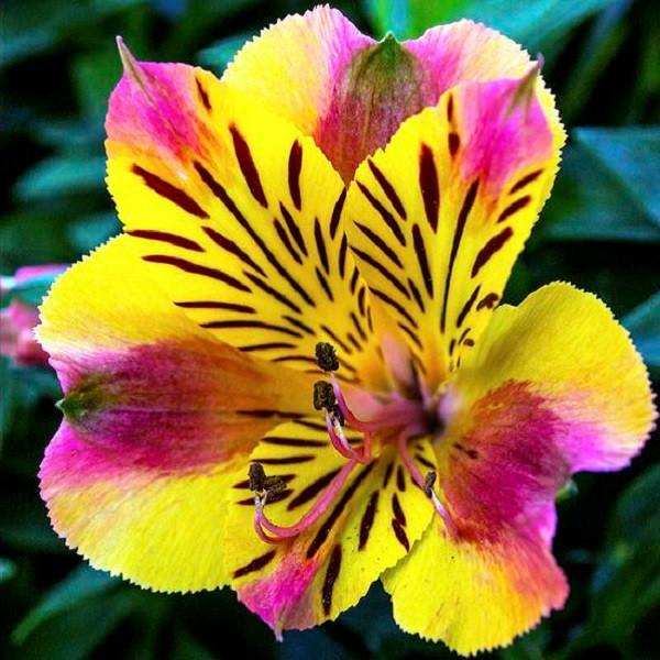 Alstroemeria single flower photos
