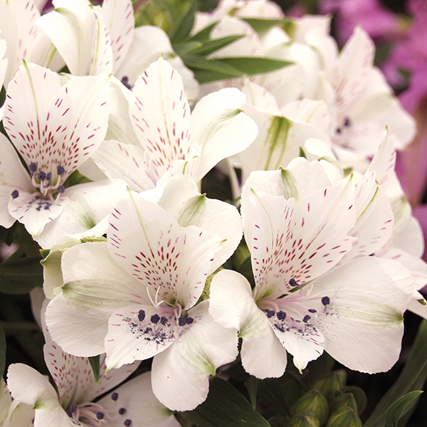 Alstroemeria white flowers images