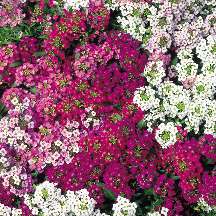 Alyssum colorful flowers photos