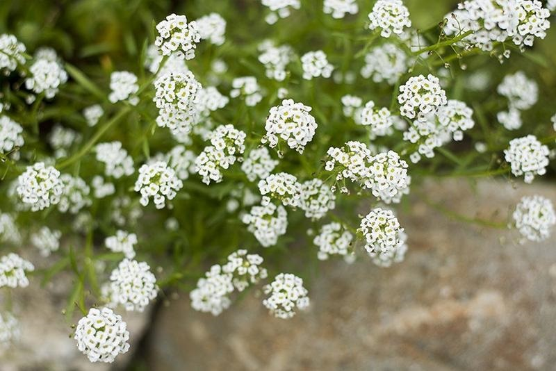 Alyssum hd flower wallpapers