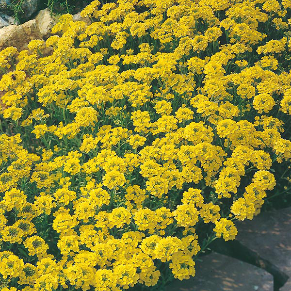 Alyssum yellow flowers pictures