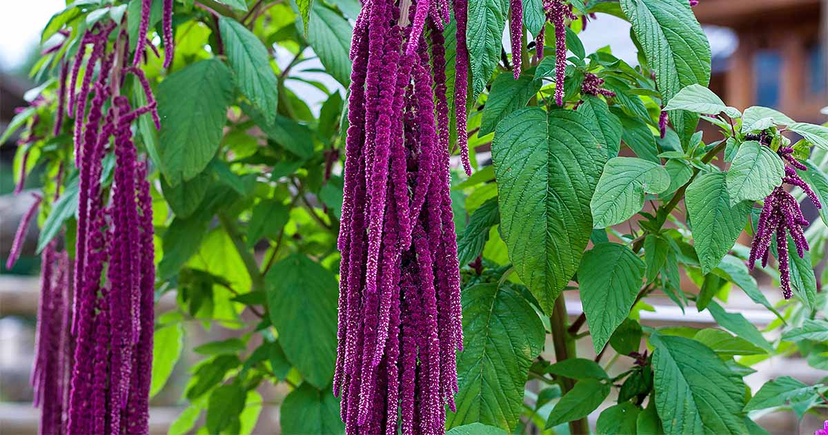 Amaranthus wallpapers