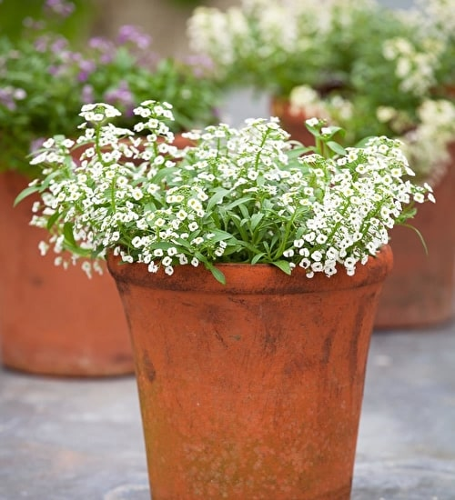 Flowers alyssum pictures