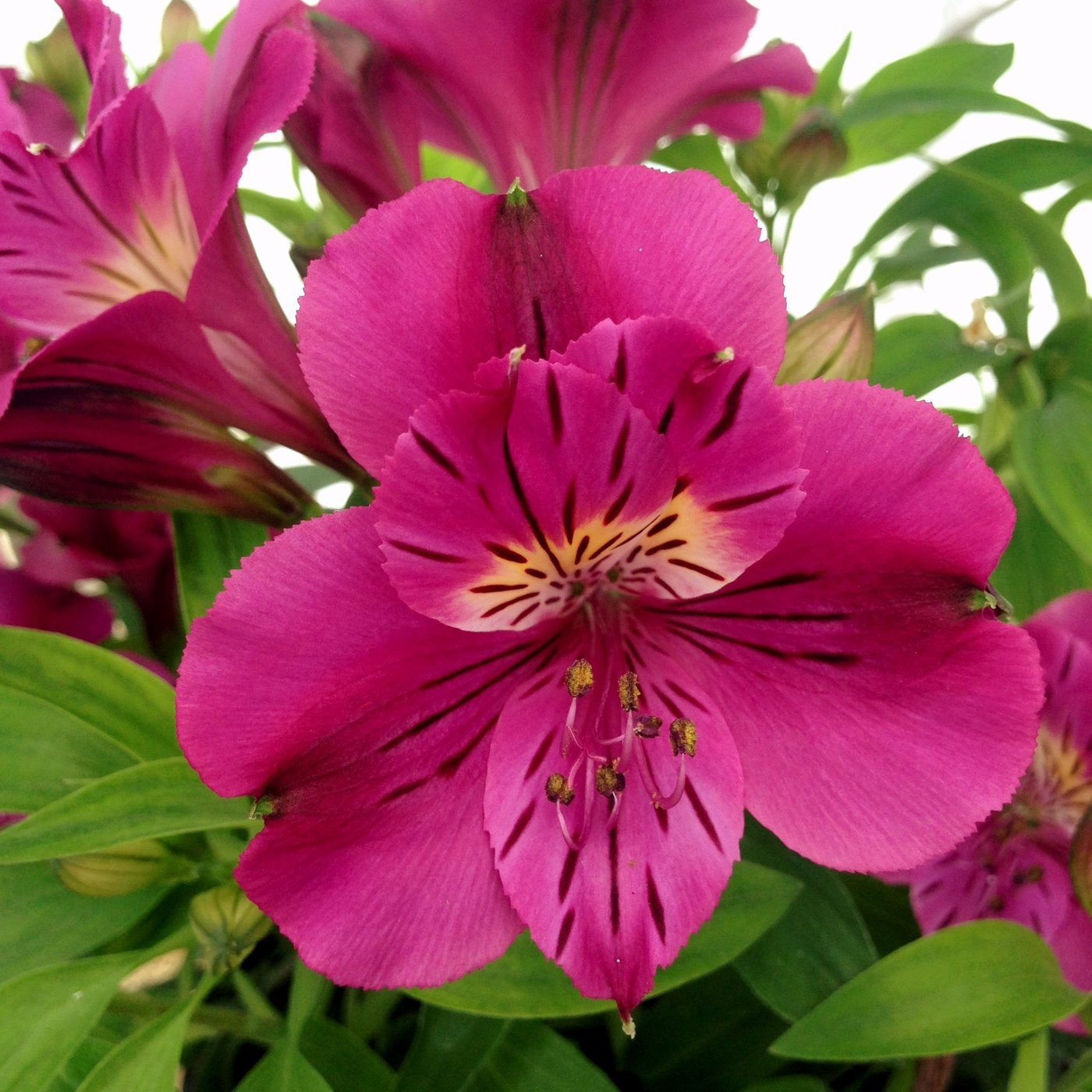Pueple alstroemeria flowers pictures