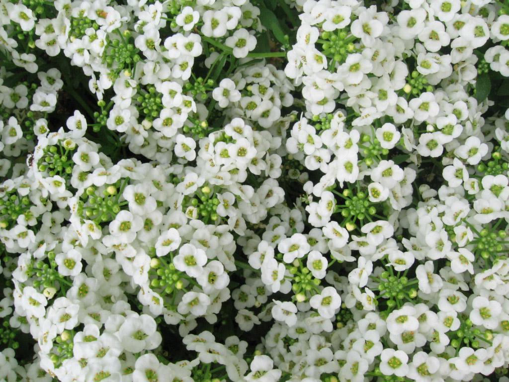 Sweet alyssum flowers images