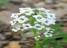 alyssum flowers pictures