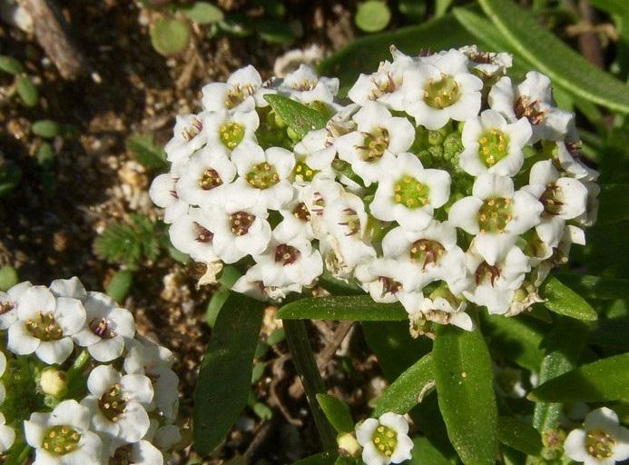 White alyssum flowers photos